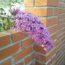 Buddleia-Budleja-Ljetni jorgovan