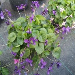 Viola labradorica-Vrtna ljubičica