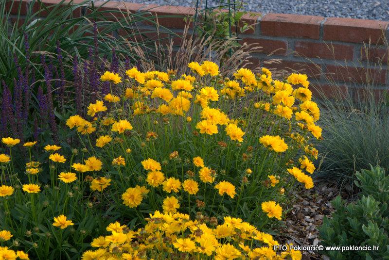 Trajnice-Coreopsis grandiflora