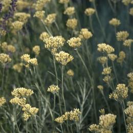 Helicryshum italicum-Smilje