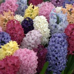 Hyacinthus-Zumbul