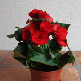 Begonia elatior-Sobna begonia
