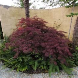 Acer palmatum-Japanski javor