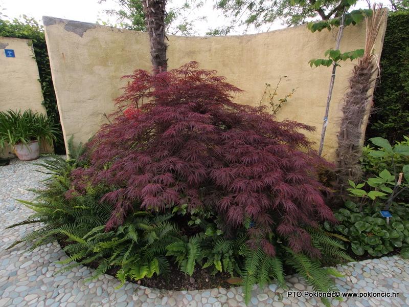Grmovi-Acer palmatum