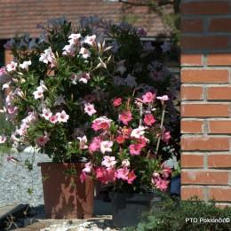 Mandevilla-Sundevilla-Dipladenia-Brazilski jasmin