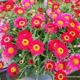 Argyranthemum-Margareta