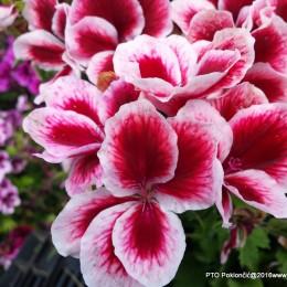 Pelargonium grandiflorum-Engleska pelargonija