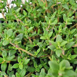"""Thymus vulgaris """"Faustini"""""""
