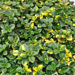 """Thymus x citriodorus """"Doone Valley """""""