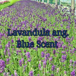 Lavandula angustifolia Blue Scent