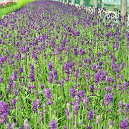 Lavandula angustifolia-Prava lavanda