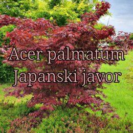 Japanski javor