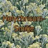 Helychrisum italicum-Smilje